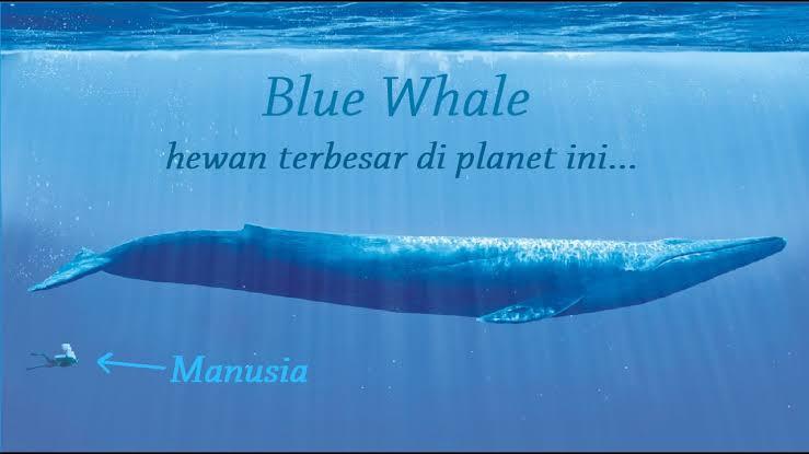 Ikan Paus Biru Sanggup Jelajahi Lingkaran Dunia Berita Sejarah Peradaban Dan Kisah Islami